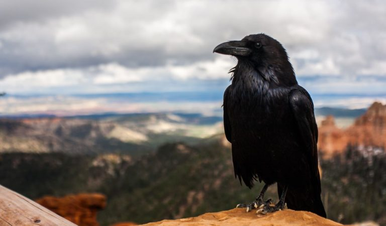 10 Fascinating Facts About Crows